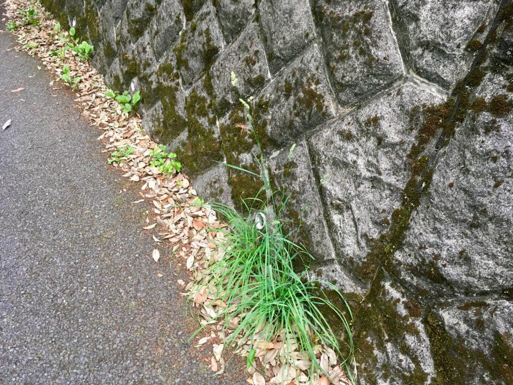 アスファルトの間から伸びる草