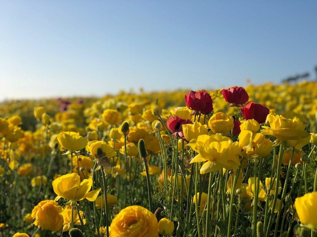 チューリップの花畑