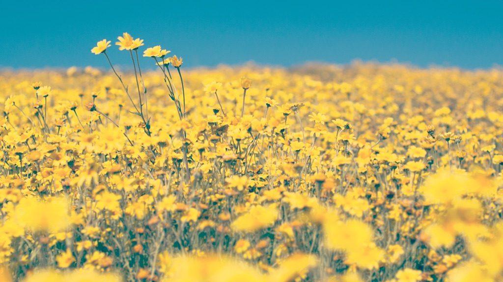 黄色い花のお花畑
